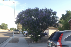 Blue Gold customer, George Reymer sent us this video of his Rose Bushes and Butterfly Bush, which is basically a Butterfly Tree at this point! 🦋🌹 George is based in Albuquerque, New Mexico and has no issues with heat stress on his plants using Blue Gold™!
