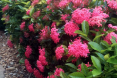 These Ixora plants received only one application of Blue Gold™ Vibrant Floral and busted out in massive blooms!