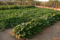 "(4/7) The grower says, ""this never happens due to the extreme heat and plant stress. (Pictured Squash and Melons)"