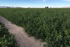 (1/8) James Farm in Utah had a 50% larger yield on the 4th cropping of Alfalfa.
