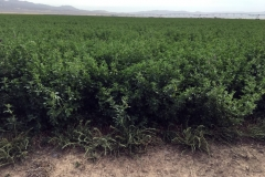 (2/8) This is irrigated roundup ready Alfalfa (lower yields) in Utah on Blue Gold™.