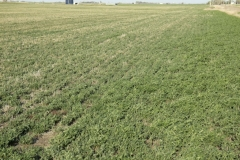 (1/4) This stretch of Kansas Alfalfa near the road was treated with only one application of Blue Gold™.