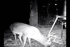 (4/5) The video showed them coming to the food plot sniffing out the nutrients.