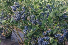 (11/13) Another note: Blueberry harvest for these varieties in this region is usually from about the 3rd week of July to the end of August. This year we were picking the last of the blueberries on September 24th. No other growers in the region still had berries this late.