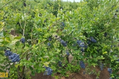 "(12/13) Overall, I am amazed at the production results. I harvested 875lbs of berries from 1,000 plants that are 1/8th of the estimated maturity.""-Cid, from Cid's Blueberry Farm"