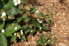 (2/3) This is a planting of a Natchez Blackberry Plant. After only one application of Blue Gold™ Garden and Blue Gold™ Super Carb, it bloomed and set fruit. There are 75 berries on this plant, and it did not lose a single one.