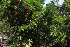 (2/5) Dear Eden Solutions, Just letting you know that the citrus trees I sprayed have a very nice crop this year, the great fruit are much bigger than the last couple years, lots of lemons than ever before and the tangelos have a vibrant color and a nice thick rind.I haven't tasted the oranges yet, but they look very good. I think I sprayed the trees 6 times? Unfortunately, I spent so much time working in Calf. I stopped spraying. Also, we had 120-degree temps this last summer for most of the time? -Chad