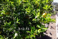 (3/5) California Citrus tree is thriving in spite of the drought through Blue Gold™.