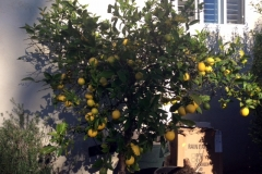 This California citrus tree was unable to produce and was diseased. All thanks to only a couple applications of Blue Gold™ it produced quickly, and the disease went away fast.