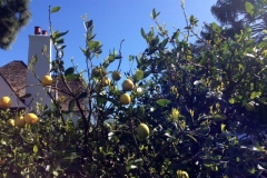 (1/2) This lemon tree was experiencing leaf miners, citrus rust and many other pests and diseases.
