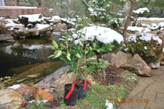 Citrus trees, sprayed with Blue Gold™ Garden, shown in a North Carolina snowstorm in March. They also lived through 15 days of below freezing temperatures and had no damage from the freezing temperatures.