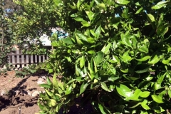 (1/2) Leaf miner, citrus greening, and all the issues are quickly disappearing…