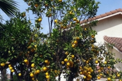 """(1/2) A Blue Gold™ user sprayed the visible half of his neighbors citrus tree. """"My neighbor's orange tree was infested with whiteflies and black sooty mold. This is what happened after receiving overspray of three Blue Gold™ applications!"""""""