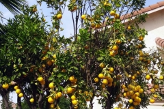 (2/2) You can see all the fruit set on the Blue Gold™ treated side and healthy vibrancy of it. The user said all the pests and diseases went away!