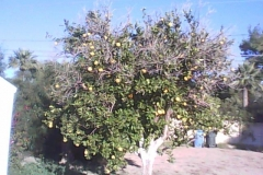 Underproducing citrus cured and fruit drop reduced on the Blue Gold™ Program. This Arizona citrus tree normally produced 9 oranges or less. The tree was sprayed with Blue Gold™ for 4 weeks about 8 months prior to this picture. This tree in this picture now is sporting over 200 beautiful disease free oranges!