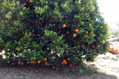 (1/4) High Desert Alpine, California garden grows massive perfect oranges in the middle of drought and water restrictions with the use of Blue Gold™ Garden.