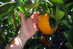 (2/4) All Barbra Rosenberg's oranges grew unblemished and healthy pest and disease free.