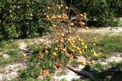 (2/6) This is what happens when a citrus tree succumbs to the chemical onslaught it receives from fertilizer, herbicides, fungicides, etc.
