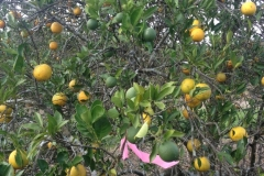 (4/6) This tagged citrus tree was treated with Blue Gold™. Leaf miner and rust were eliminated. Notice additional fruit sets are happening after application of the Blue Gold™. With continued use of Blue Gold™ the farm experienced zero fruit drops and the largest production in over a decade.