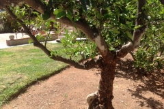 (1/2) A dying citrus tree gets one application of Blue Gold™ and gets blooms!