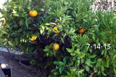 (1/5) California Citrus tree recovered from leaf miner and greening quickly with Blue Gold™ treatments.