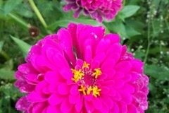 "(1/3) ""Hi James, I stopped watering my zinnia patch about 4 weeks ago."