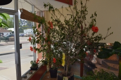 (1/2) This hydroponic store in Michigan could not get leaf growth or bloom set on this Hibiscus.
