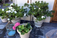 Another picture showing the second round of Azalea blooms, and a beautiful bloom on their other potted plant treated with Blue Gold™ Vibrant Floral.