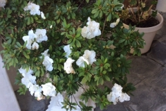 This is the second round of blooms on an Azalea bush in southern California. Typically, only one set of blooms is expected!