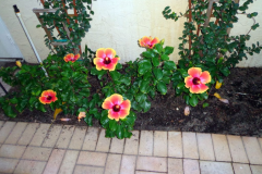 (1/2) These South Florida Blue Gold™ Vibrant Floral Hibiscus flowers are approaching four days of continuous bloom since opening. Amazing!
