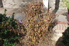 (1/4) Here is a picture of a dormant vine that is non-blooming.