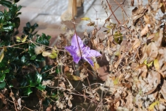 (3/4) Flowering vine after fall freezes that sent it dormant and lost all its color.