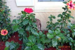 (2/4) In South Florida, this customer is super happy with their vibrant Hibiscus on their 13-acre condominium complex. Notice the vibrant blooms and the shiny, lush dark green leaves