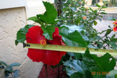 (1/4) Super Hibiscus Bloom in South Florida