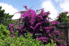 (2/2) This photo shows the fantastic Bougainvillea blooms after only using a few Blue Gold™ Vibrant Floral applications.