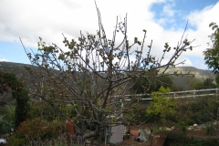 "(1/3) ""It has approx. 600, grape to walnut sized, apricots with many more tiny ones and flowers still coming. It has had fruit set for about 6 weeks now. It only has a few leaves and is just starting to come, finally."