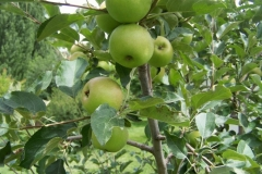 """(2/2) What impressed me more was how the next tree over had large apples on the Blue Gold™ side and small apples on the opposing side."""" -Janice Drumm, Bartlesville OK"""