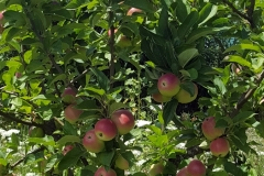 (7/9) Blue Gold™ red delicious apples…