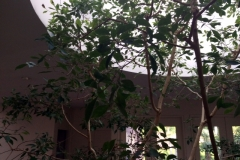 (1/4) This 30-year-old indoor ficus tree would not stop losing leaves.