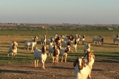 (1/4) We run a 400 to 500 goat operation and wean an average of six groups of wether goats a year, numbering on an average of 60 to 80 head per group.  We maintain one of the best health programs in the industry but have always doctored or treated from 10 to 20% of the individuals within each group. The wethers are mainly divided into runs with numbers from 12 to 15 goats per run.  Each one of our runs has 30-gallon stock tanks, with automatic fills.  Many sets ago, we started putting 100CC of Blue Gold™ Eden Enzymes daily into each stock tank.