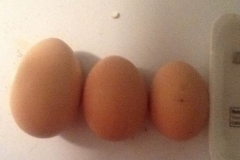 (1/3) Missouri egg farmer is showing the size increase after Blue Gold™ being fed to the chickens!