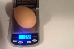 (2/3) Blue Gold™ Grand Champion mega chicken egg at 3.22 oz. after the start of feeding the chickens the Blue Gold™!