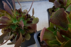 (2/7) About every place there could be flowers are popping on these succulent clones about 5 months old.