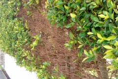 (11/14) After Blue Gold™ treatments the hedge is reviving with no more whitefly problems.