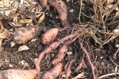 This Kansas grower says his sweet potatoes have never produced in such abundance since beginning the Blue Gold™ Program!