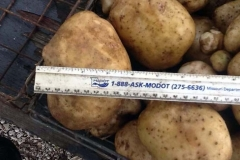 (2/3) Huge Kennebec Potatoes were Grown with Blue Gold™ Garden. On harvest, the farmer was so amazed at the size, he immediately took a picture and sent it to us.