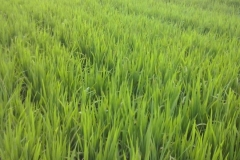 """(1/3) Pictures of the 22-hectare dry rice field in Panama. """"We sprayed the Blue Gold™ Rice Blend last Wednesday morning, October 15, 2014. On the second day, the farmer noticed a surprising greening of the treated field. We recommended he leave a 1-hectare patch across the field with no spraying for comparison sake. Yesterday we went back to see the field and all of us, including other rice farmers, were totally amazed to see the enormous growth in the sprayed field as compared to the non-sprayed. This is the same rice field the next day after the first application of the Blue Gold™ Rice Blend and Eden Bugs last week. Look at the top right of the picture; this yellow block is the control area that was not sprayed. The sprayed field was taller and had very healthy stalks of about 6 inches each. The comparison had no stalks yet. Harvest time is in 30 days, and we strongly feel that with just one Blue Gold™ application we will have longer, heavier, and better rice."""