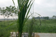 (1/7) Left is the Blue Gold™ Rice plant and the right is the control. 30 days before harvest.