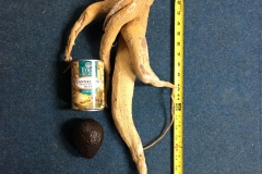 (1/2) THICK Moringa Tree root courtesy of Eden's Blue Gold™.