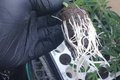 (1/3) Crazy roots from using Blue Gold™ Fusion Compost VEG at 225 PPM.